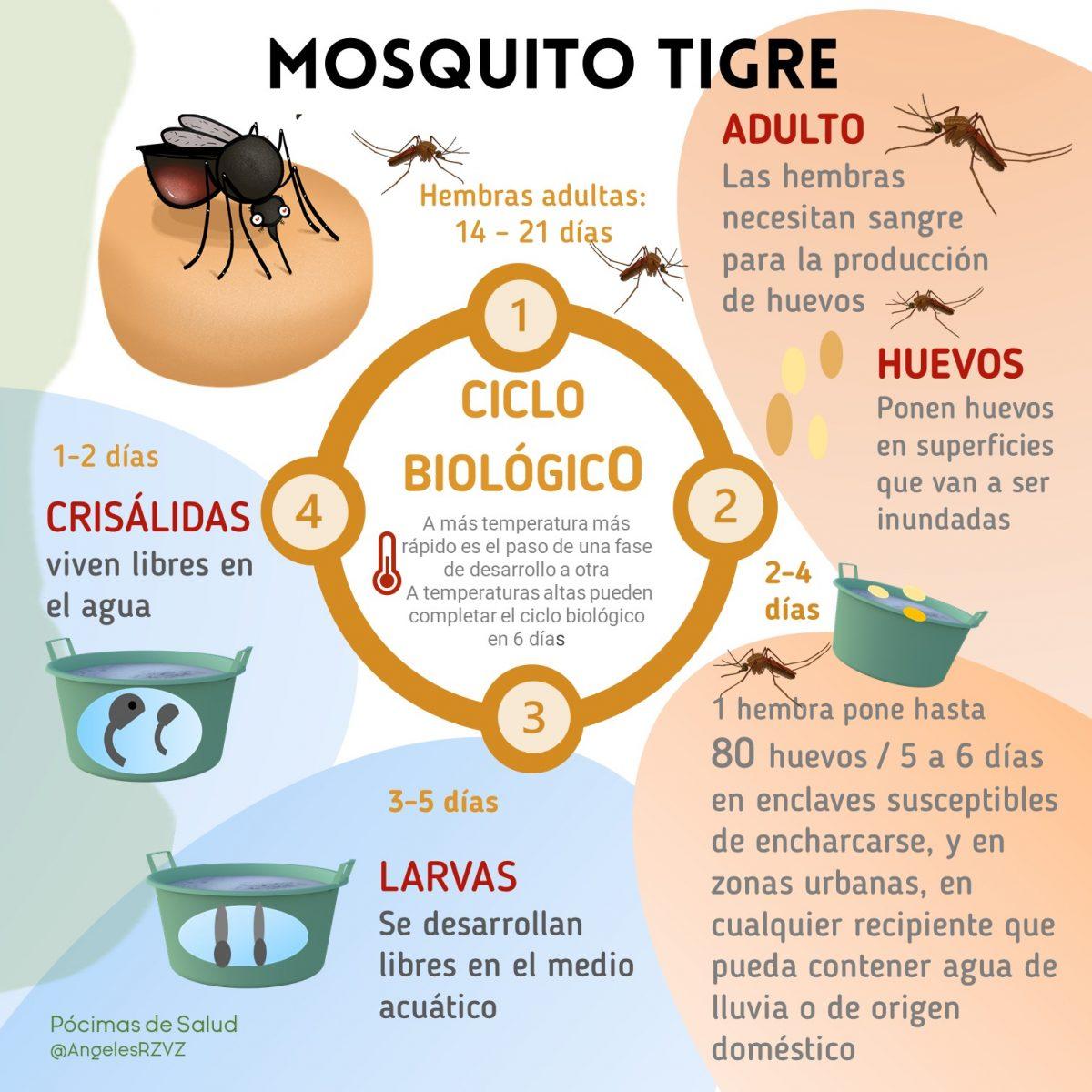 ciclo-mosquito-tigre