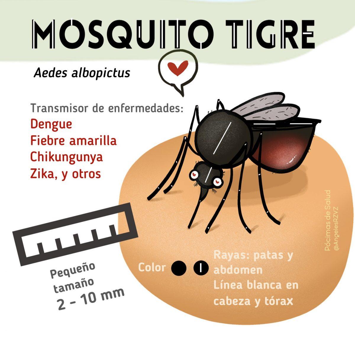 Cómo-es-mosquito- tigre